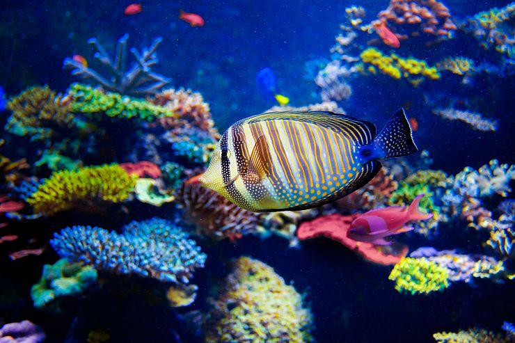 Per salvare la barriera corallina si sperimentano for Immagini coralli marini